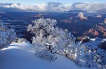 Frozen Pine